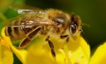 organic beekeeping,