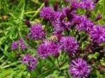 Bit of Earth Farm bees on purple flowers,