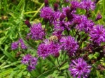 Bit of Earth Farm bees on purple flowers,
