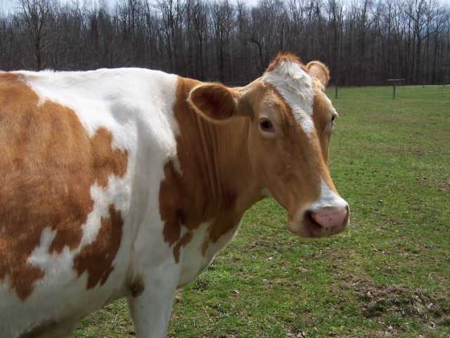 Isabelle the cow, Bit of Earth Farm, pastured dairy cow,