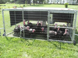 chicken tractor, grassfed turkeys, pastured turkeys,