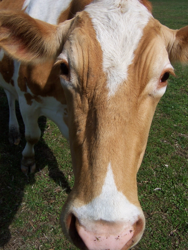 cow personality, Bit of Earth Farm