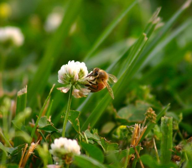 saving bees, bee losses 78%,