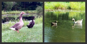 goose and car love story,