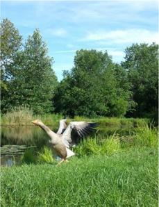 honda goose love story,