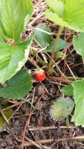 A lone strawberry, veteran of several frosts.