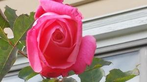 November roses.