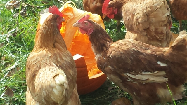 Fowl interaction over some pumpkin flesh.