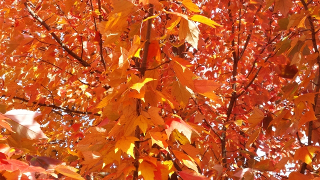 why leaves change color,