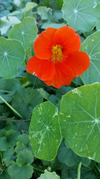 I'm the only one here who likes nasturtium flowers in salads.
