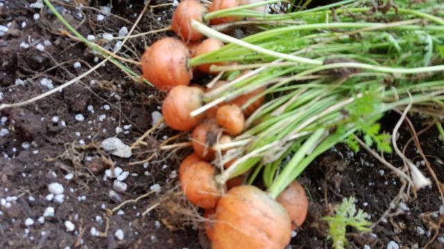 Parisian round carrots.