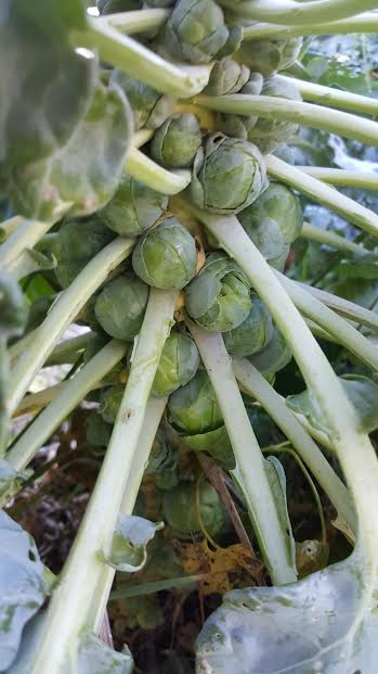 Brussels sprouts, hiding under sheltering leaves.