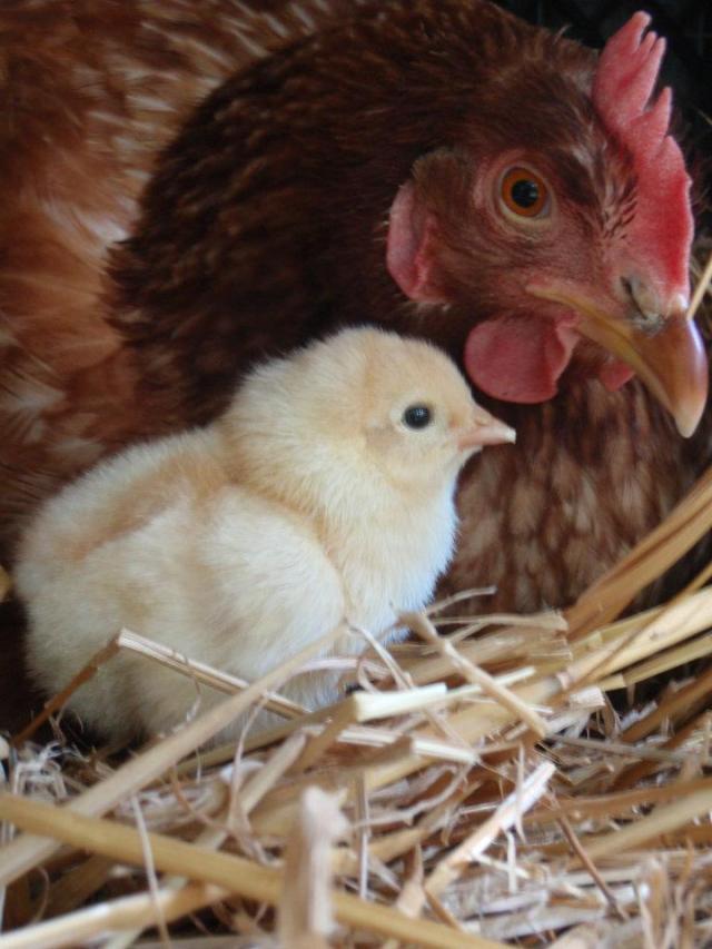 Bit of Earth Farm, where the chickens are happy
